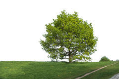 Big tree in a park Royalty Free Stock Image