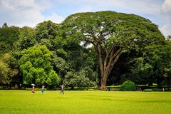 Big tree in a park in Sri Lanka royalty free stock photos