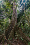 Big tree peruvian Amazon jungle Madre de Dios Peru Stock Photo