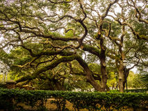 A big tree. Photo taken in Florida last winter. This tree was magnificent by its branches stock photos