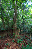 Tree in rain forest Stock Photography