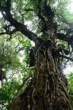 Big tree in rain forest Royalty Free Stock Image