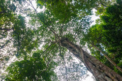 Big tree in rain forest. Royalty Free Stock Photography