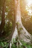 Big tree in rainforest and beam of the sun Stock Photos