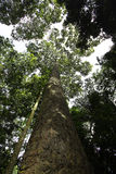 A big tree. Rainforest in thailand Stock Images