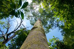 Big tree in rainforest. Big tree in a rainforest view from below stock photo