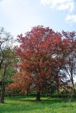 Big tree with red leaves on a green trees background. Riversii, Royal Red, maple tree vertical photo, summer day royalty free stock photography