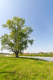 big tree on river Bank in summer, Royalty Free Stock Image
