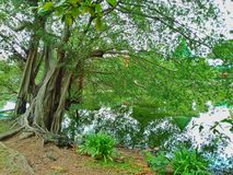 Big tree and river royalty free stock images