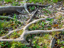 Big tree root Stock Photography
