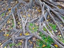 Big tree root Royalty Free Stock Photos