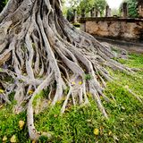 Big tree root Royalty Free Stock Images