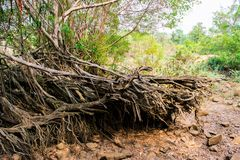 Big tree root Royalty Free Stock Image