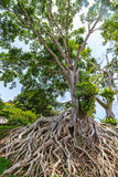 Big tree and root Stock Images