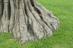 Big tree root Royalty Free Stock Photography