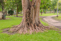 Big tree root in green grass on public park Royalty Free Stock Photo