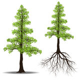 Big tree with root. Isolated on white background, vector illustration Stock Photography