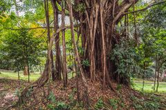 Big tree root in the jungle wild. amazing banyan root in deep tropical forest. A old tree has roots for natural. Background stock photography