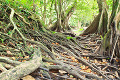 Big tree root Stock Photography