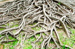 Big tree root Stock Photos