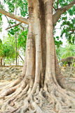 Big tree and root Stock Photo