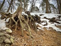A giant tree root on the surface of the damp earth. It`s spring. Lies snow. stock photo