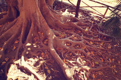 Big tree roots Royalty Free Stock Photos