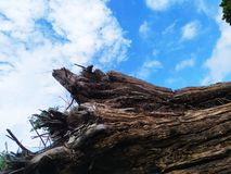 Big tree roots die on blue sky background stock photography