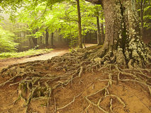 Big tree roots in a forest (Spain) Royalty Free Stock Photos