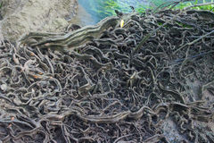 Big tree roots in forest at Thapom, Klong Song Nam, Krabi, Thail Stock Images