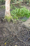 Big tree roots in forest at Thapom, Klong Song Nam, Krabi, Thail Stock Image