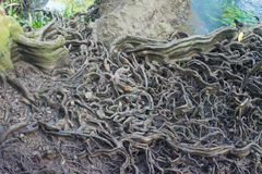 Big tree roots in forest at Thapom, Klong Song Nam, Krabi, Thail Royalty Free Stock Photography