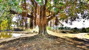 Big tree. Tree roots and long tentacles in village royalty free stock image