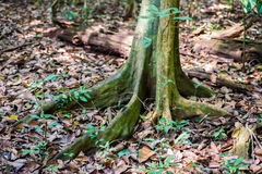 Big tree roots in rainforest National park Periyar Wildlife Sanc Royalty Free Stock Photos