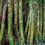 Big tree roots or stems in rainforest National park Periyar Wild Royalty Free Stock Images