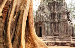 Big tree and ruins of temple in Angkor Wat complex, Siem Reap, C Royalty Free Stock Image