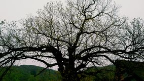 Big tree in Shirakawa-go Japan Stock Photo