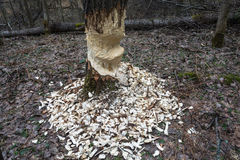 A big tree with signs of beaver activity. Stock Photos