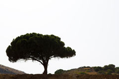 Big tree silhouette over white sky Stock Image