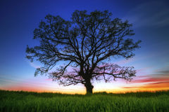 Big tree silhouette Royalty Free Stock Image