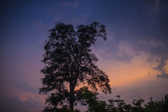 Big Tree silhouetted. Against on twilight sky Stock Image
