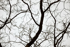 Big tree on sky background. Big tree on white grey sky background. Isolated Stock Photography