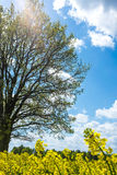 Big tree with sky and flowers Stock Photo