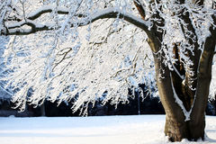 Big tree with snow Stock Images