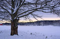 Big tree with snow at twilight Royalty Free Stock Photos