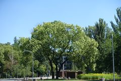 Big tree of Sophora japonica in the park. Big tree of Sophora japonica in bloom in the park royalty free stock photo