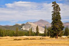 Big tree standing in Tuolumne Meadows and Lembert dome, Yosemite Stock Photos