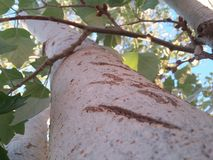 A big tree stem with cracks and green leafs with blue sky and sun shine. Royalty Free Stock Photography