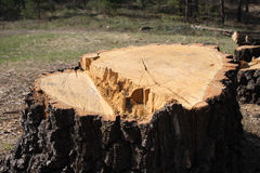 Big tree stump Royalty Free Stock Photography