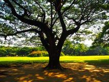 Big tree. At suan rod fai Bangkok Thailand Stock Image